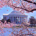 Mùa hoa anh đào nở ở thành phố Washington